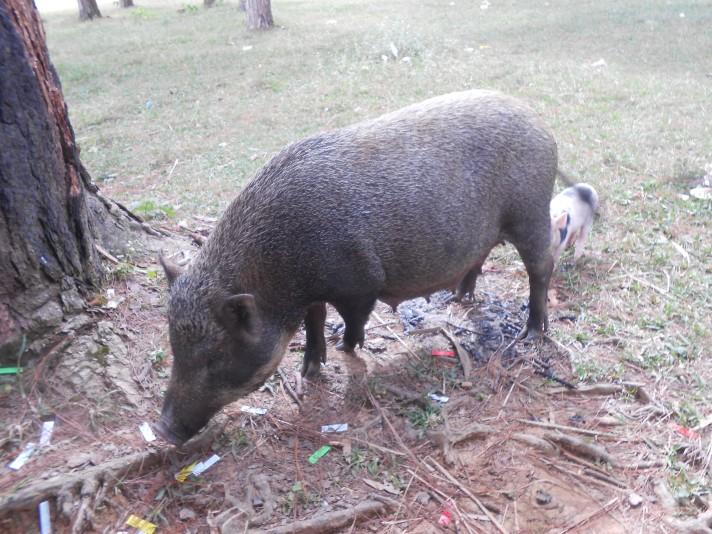 sow pig