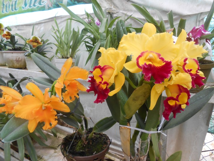 Yellow orchids_1