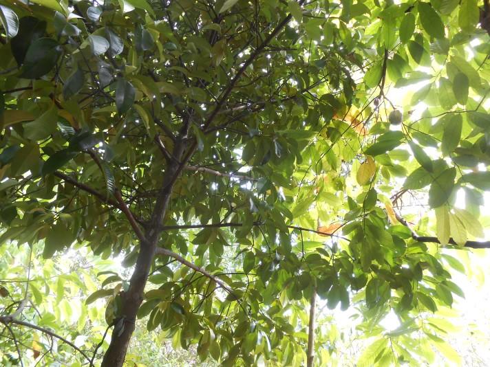 Cocoa tree.jpg