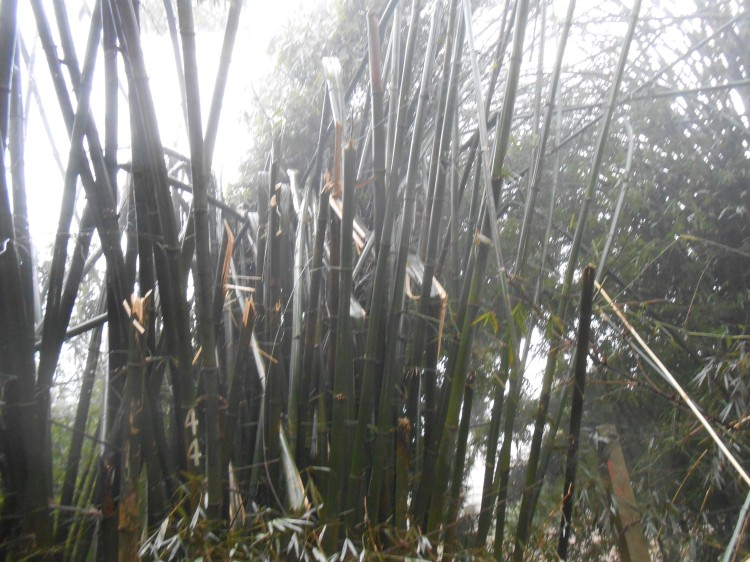 Frozn bamboo_1