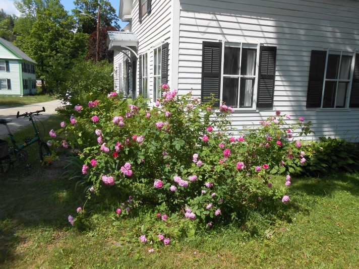 Rose bush going nuts 2016