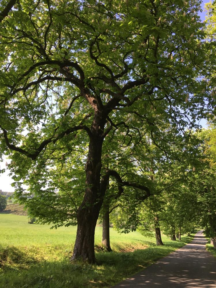 100 year chestnuts