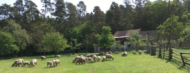 9-sheep.jpg